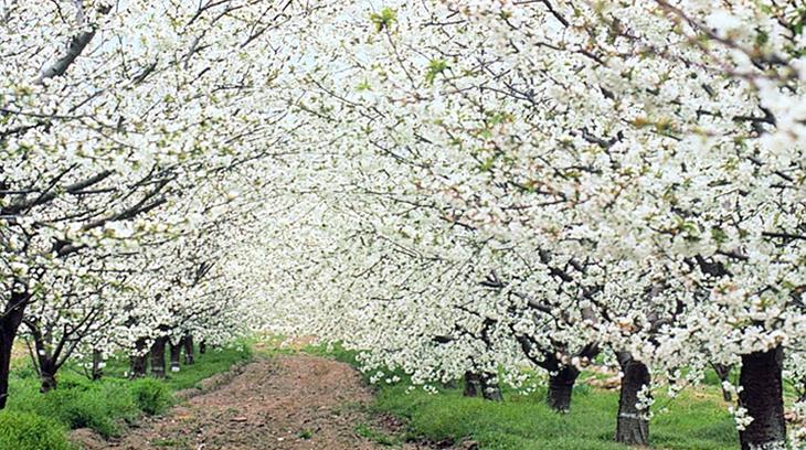 Cerezo en Flor en El Valle del Jerte, Cáceres